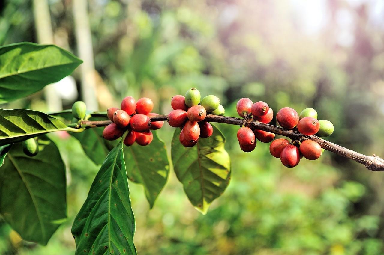 A kávé feldolgozásának különböző módjai