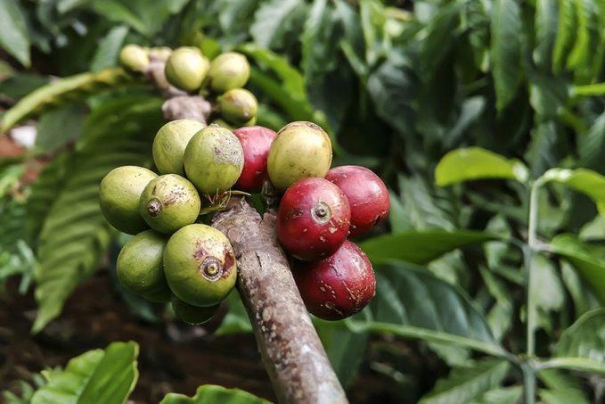 Kávétermesztés az új évtized hármas szorításában