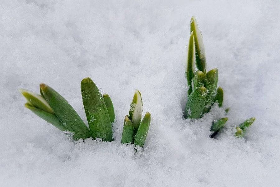 Kikelet elso hirnokei tavaszvaro hoviragok hoban A kikelet első hírnökei, a tavaszváró hóvirágok hóban várják a meteorológia vészjósló híreit a szibériai hideg érkeztéről.