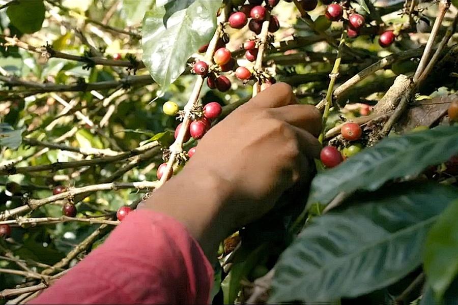 Fennsik paradus levego napfeny Kipusztulás fenyegeti az Arabica kávéfajtát az ember miatt annak direkt és áttételes tevékenysége okán.