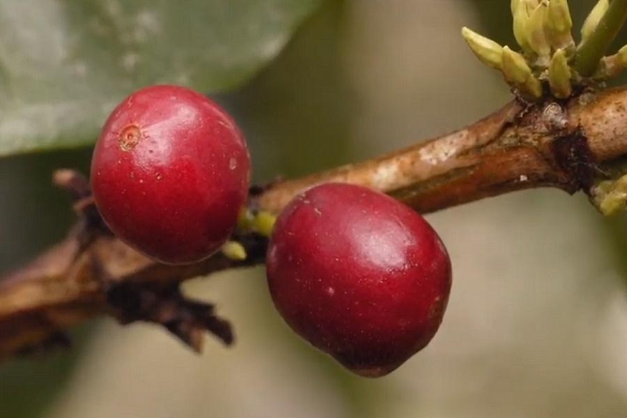 Megerett kavegyumolcs husa Kipusztulás fenyegeti az Arabica kávéfajtát az ember miatt annak direkt és áttételes tevékenysége okán.