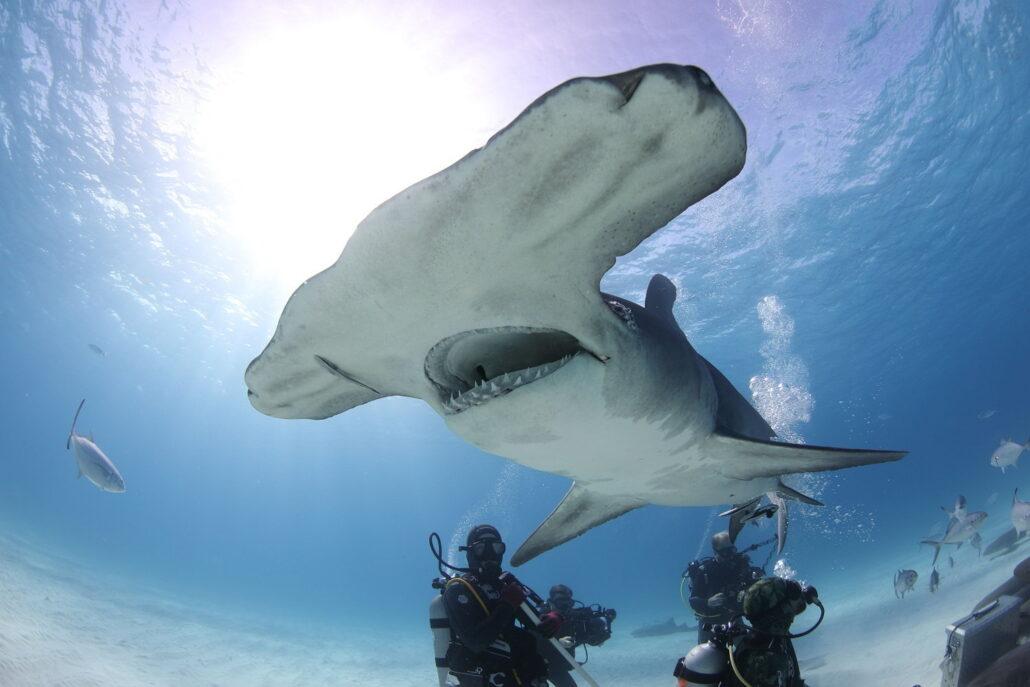 Chris Hemsworth es egy porolycapa Mohónak és vérszomjasnak tartott cápáknak valóban van egy rejtett, szelíd arca is? Hogyan zajlik egy cápatámadás? Nézd meg a Cápafesztivált!