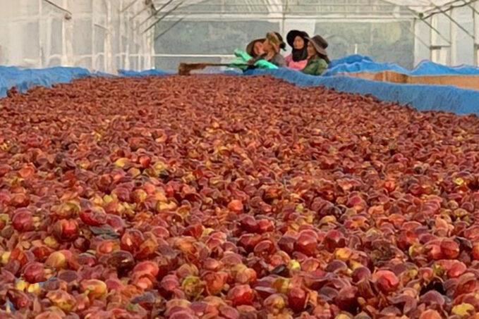 Cascara szupergyümölcs lesz a kávétermesztés mellékes aranya